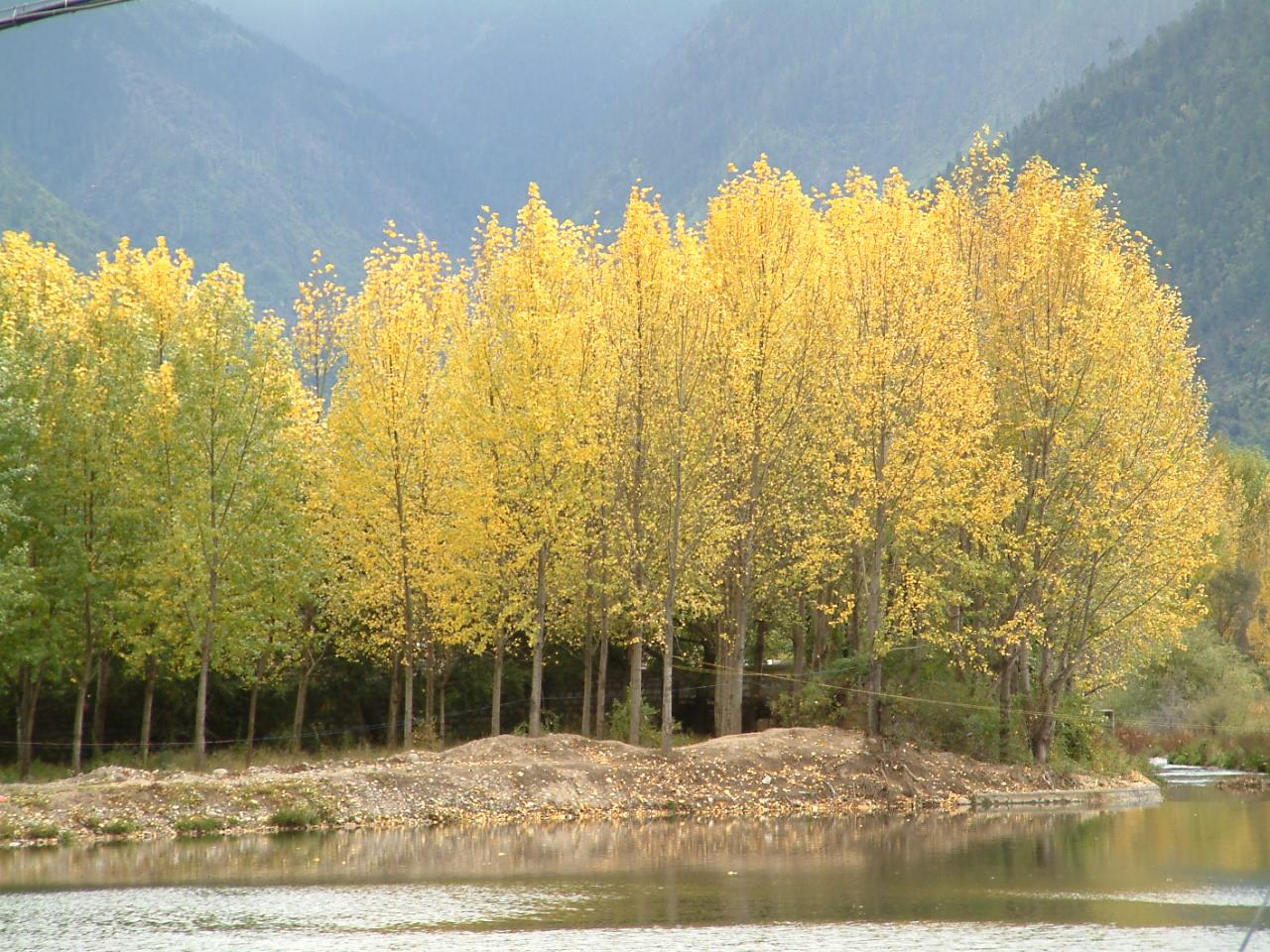 林芝八一镇地图_西藏林芝风景图片 - 林芝金黄的杨树 | Tibet Photography: Pictures, Wallpapers